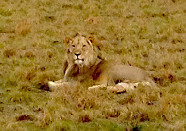 Lion at the Pilanesburg Game Reserve in South Africa - November 2013
